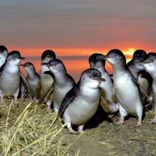 Nightly Penguin Parade @ Phillip Island
